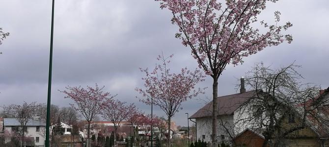 Japonai miestui dovanos sakuras